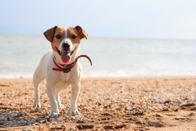 Jack-Russell-Terrier am Strand